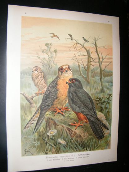 Naumann & Keulemans C1890's Folio Bird Print. Red Footed Falcon 5-22 | Albion Prints